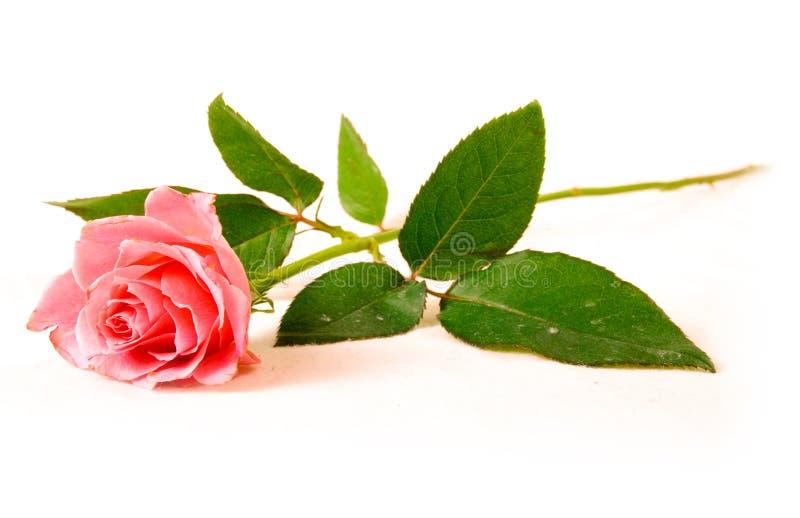 A single rose royalty free stock photos