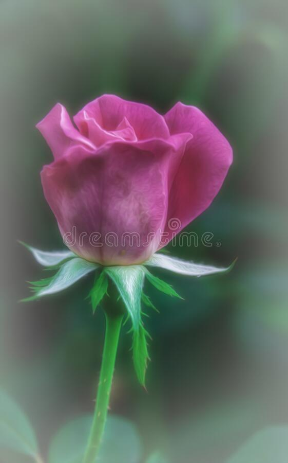 Single Rose Against Bokeh Background stock photography