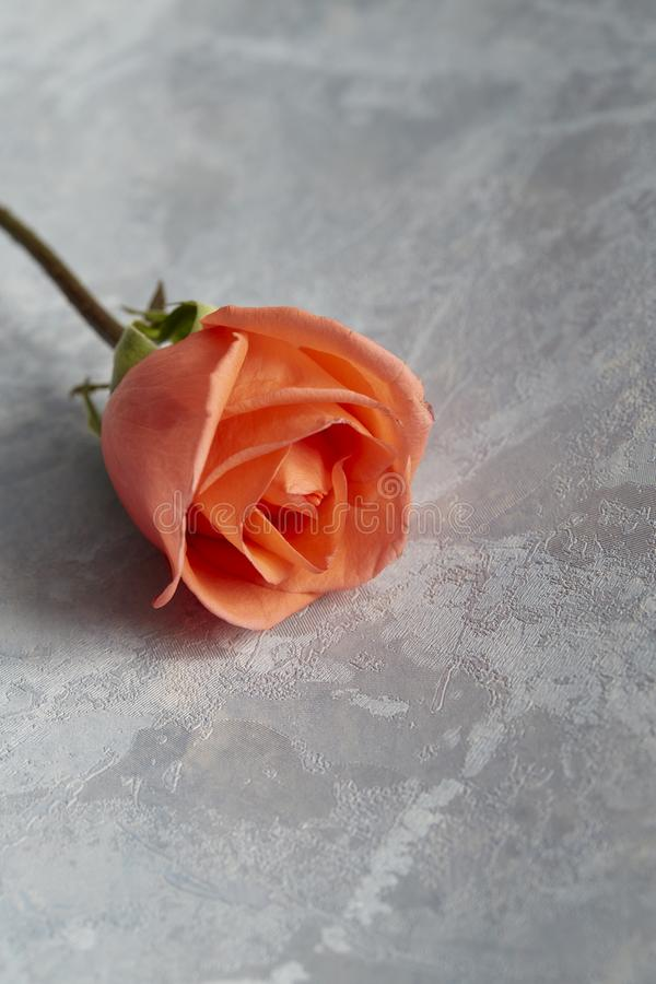 Single rose for valentine gift stock images