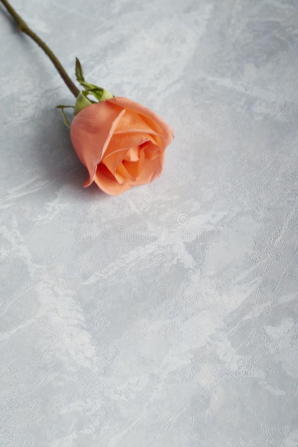 Single rose for valentine gift royalty free stock photography