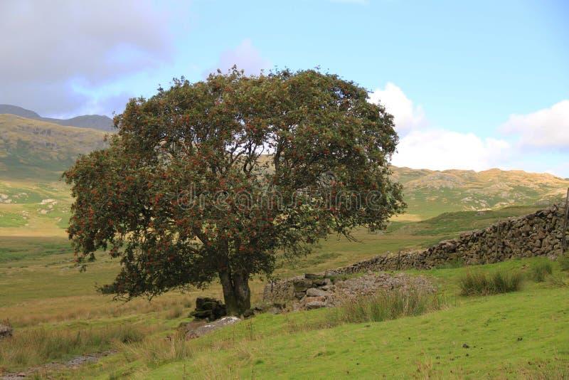 Rowan Tree, Cumbrian Fell. A single Rowan tree or Mountain Ash stands against the undulating landscape of the Cumbrian Fells, UK stock photos