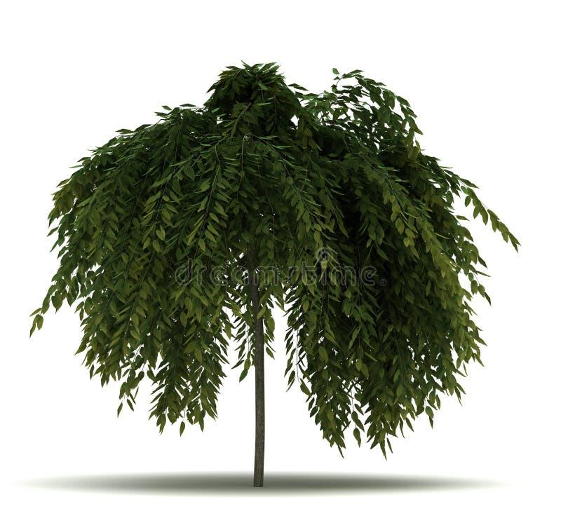 Single Salix Repens Tree. Isolated on white background royalty free illustration