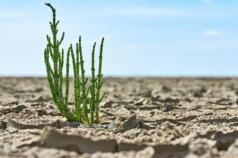 Single samphire or salicornia plant from a low perspective. A single samphire or salicornia plant in cracked tan coloured clay at the seashore of the Wadden Sea stock image