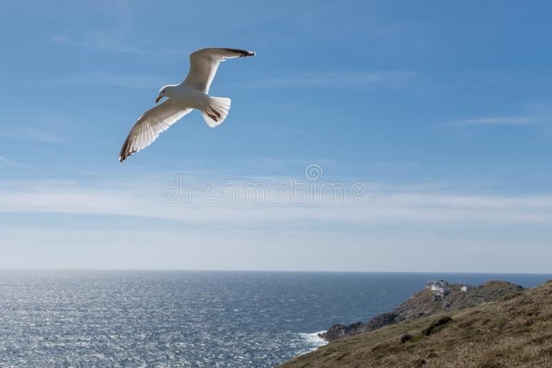 A single sea gull soaring high against a bright blue sky at Mizen Head, Ireland royalty free stock images