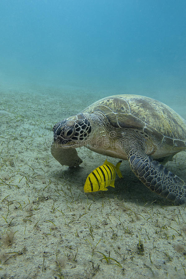Single sea turtle with yellow exotic fish on the bottom of red sea in egypt. Single sea turtle with yellow exotic fish at the bottom of tropical sea royalty free stock images