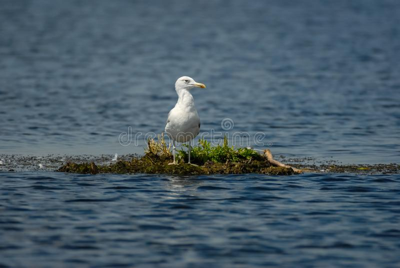 Single seagull on floating isle in danubian delta stock images