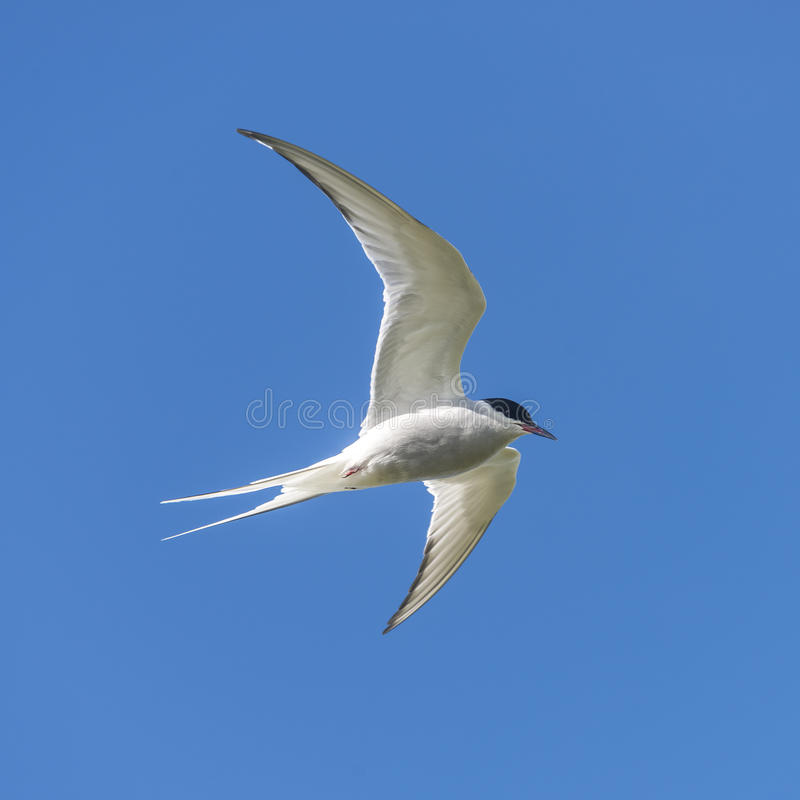Single seagull flying at blue sky at Iceland, summer, 2015. Single seagull flying at blue sky at Iceland, summer time royalty free stock photography