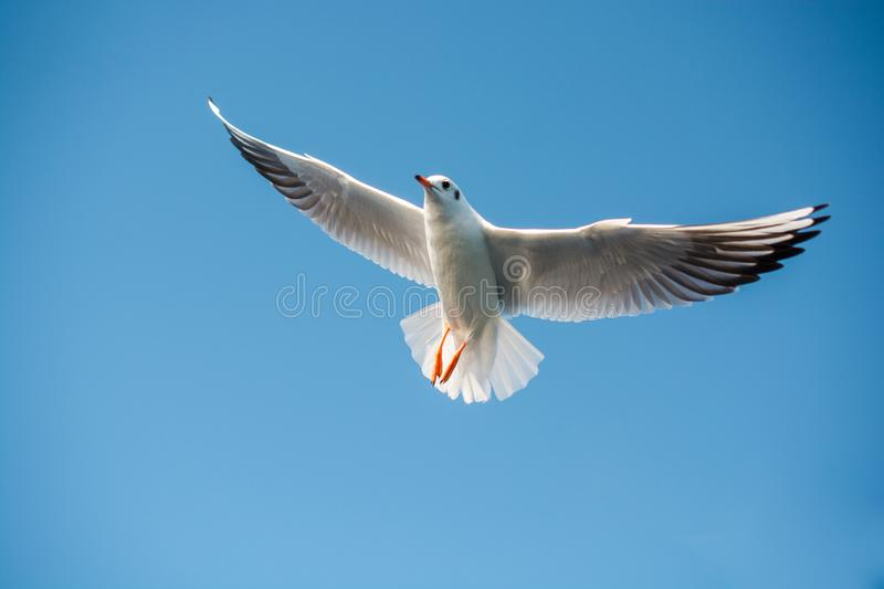 Single seagull flying in blue a sky royalty free stock photo