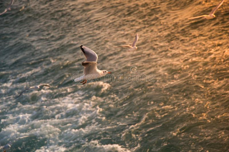 Single seagull flying over sea waters stock photo