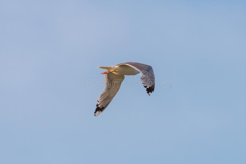 Single seagull flying in a sky as a background royalty free stock photo