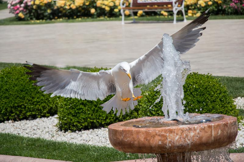 Single seagull by the side of a fountain royalty free stock image