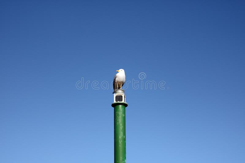 Single seagull on a green pole royalty free stock images