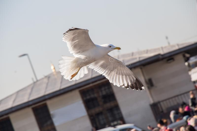 Single seagull over the roof of building stock images