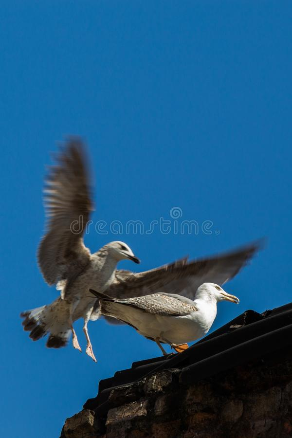 Single seagull over the roof of building stock image