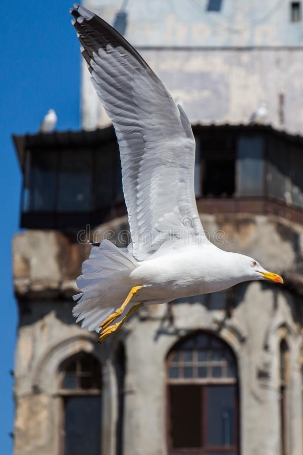 Single seagull over the roof of building stock photos