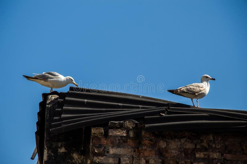 Single seagull over the roof of building royalty free stock photos