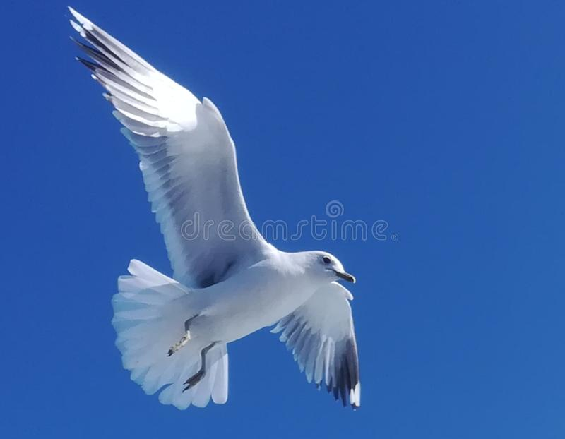 A single seagull is soaring in blue sky royalty free stock photo