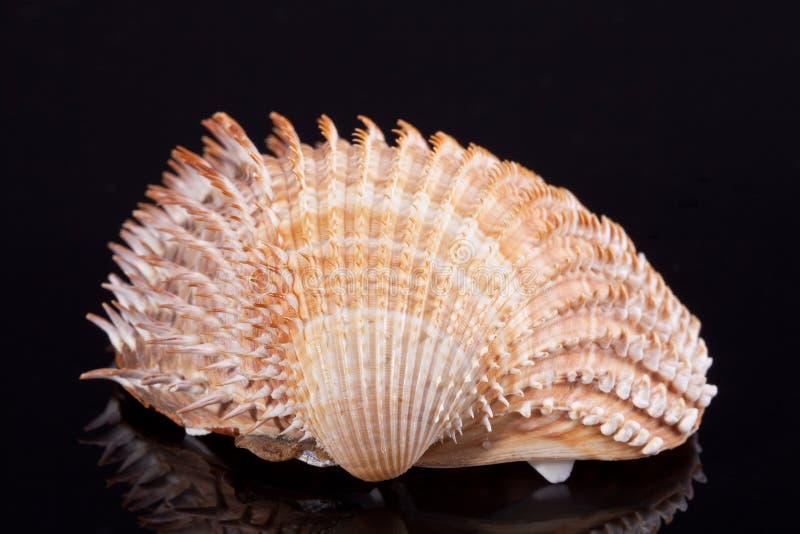 Single seashell isolated on black background stock image
