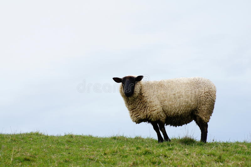 Download Single sheep stock image. Image of face, side, view, sheep - 26396585