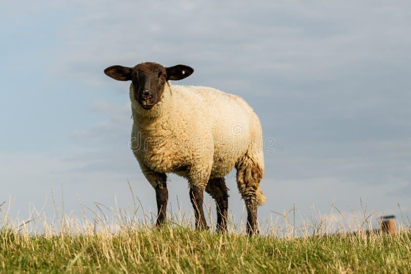 Single sheep looking into the camera royalty free stock photos