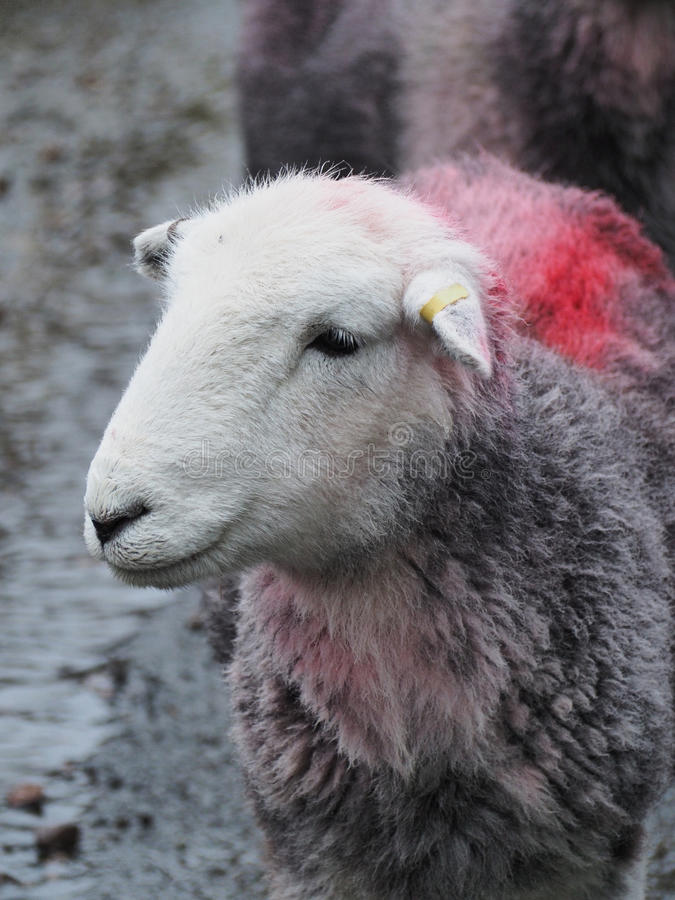 Single Sheep with Red Stripe on back royalty free stock images