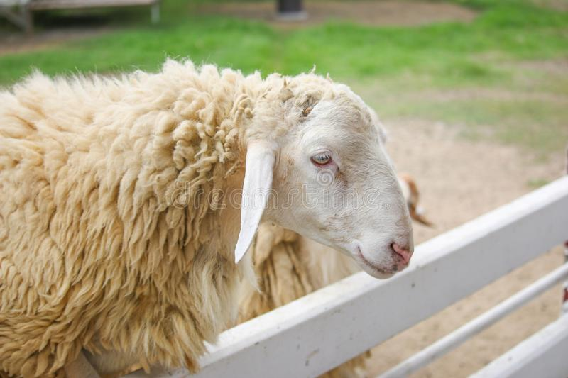 Single sheep taken in a white fence stock image
