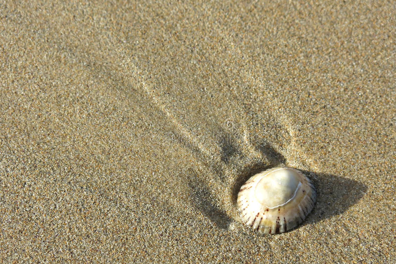 Download Single shell on sand stock image. Image of coast, sandy - 32199817