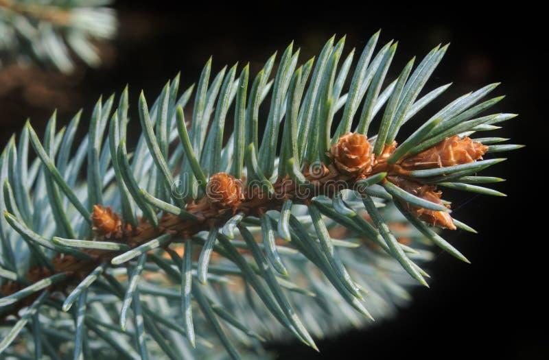 Single Shoot of Pine royalty free stock image
