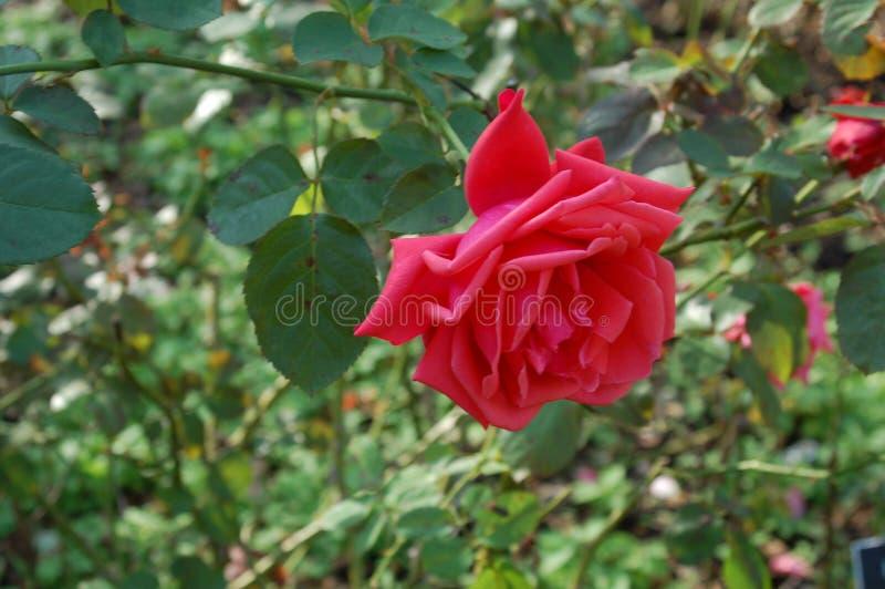 Single shot of a dark pink rose royalty free stock image