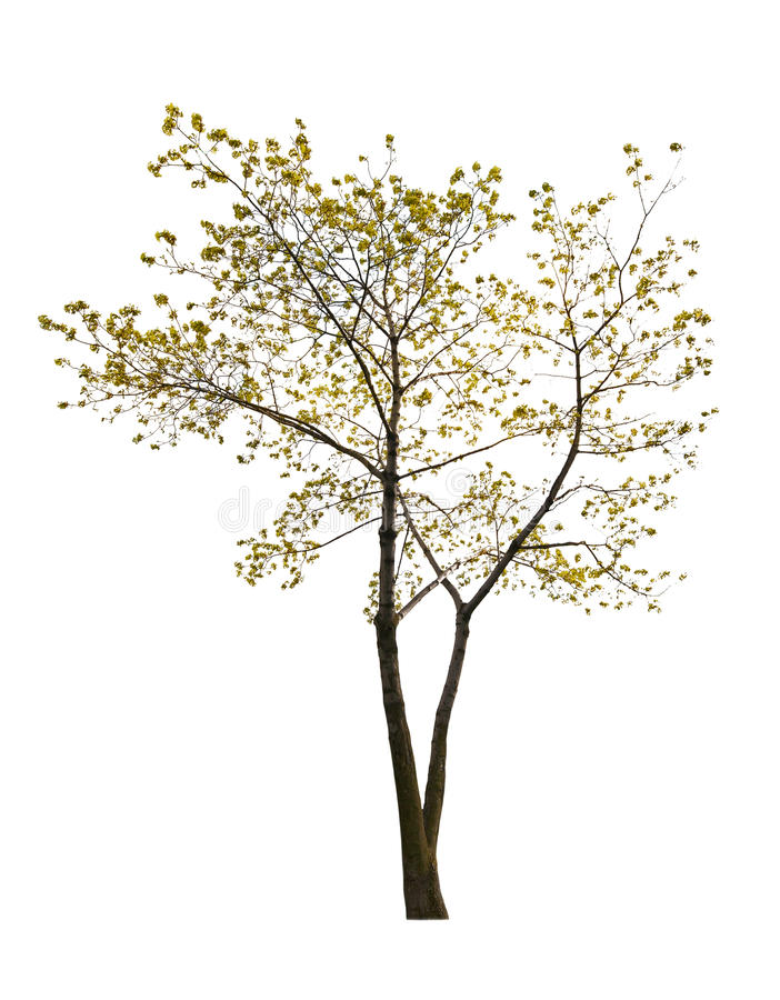 Single small spring isolated maple tree. Small spring tree isolated on white background royalty free stock photos