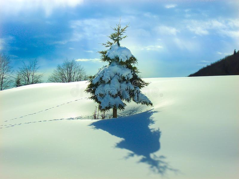 Single snow covered pine tree in blanket of smooth snow with footprints. Single snow covered pine tree with smooth soft blanket of snow hills with blue sky and royalty free stock image