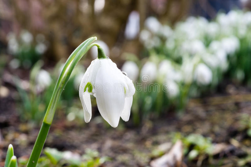 Single snowdrop in winter. Snowdrops in the middle of winter, first sings of the approaching spring royalty free stock images