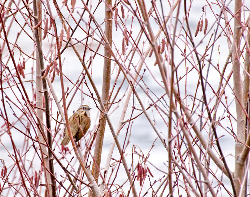 Download Single Song Sparrow In Trees Stock Photo - Image: 23517050