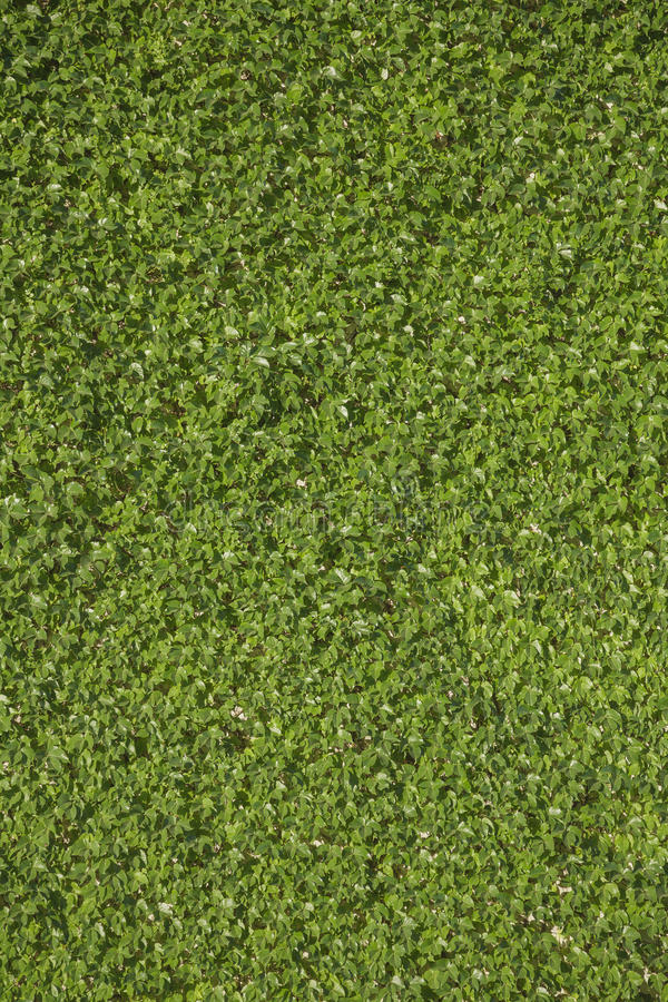 Single species green leaves wall background stock photos