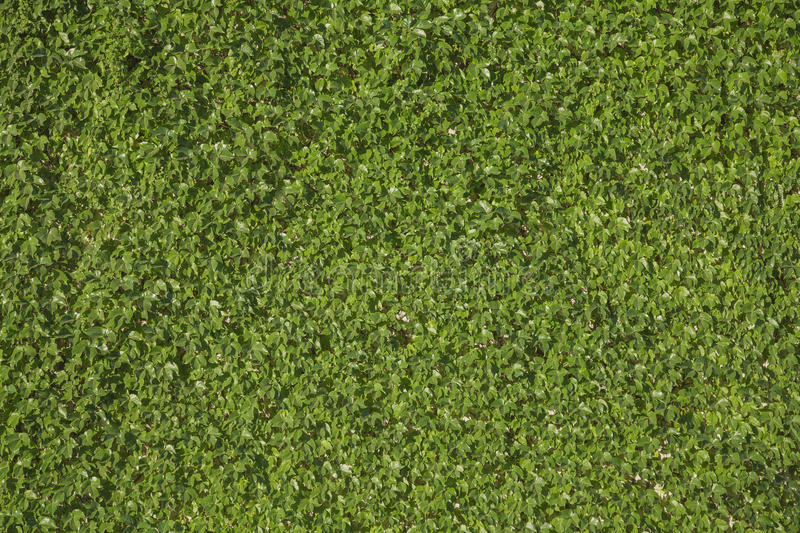 Single species green leaves wall background royalty free stock image