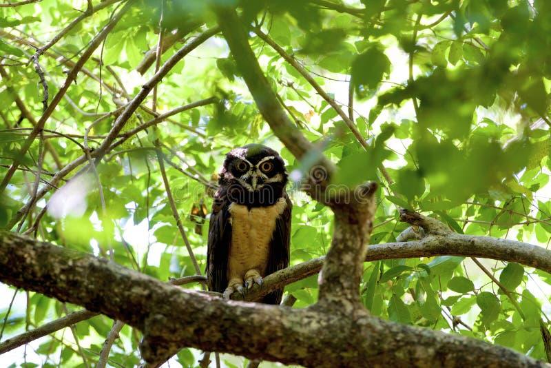 Spectacled Owl (Pulsatrix perspicillata) by Willian Menq   Owl, Pet birds,  Nature birds