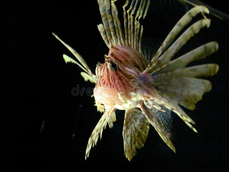 A single spinney lionfish swimming royalty free stock images