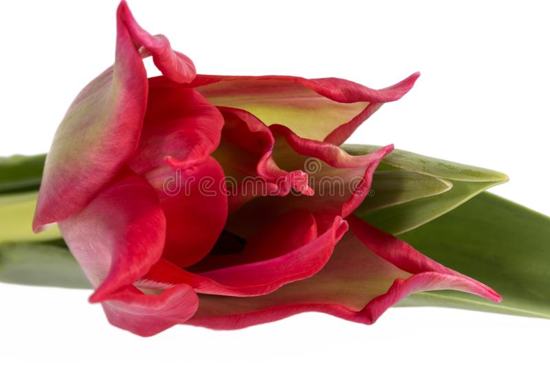 Single spring flower red tulip isolated on white background, close up. royalty free stock image