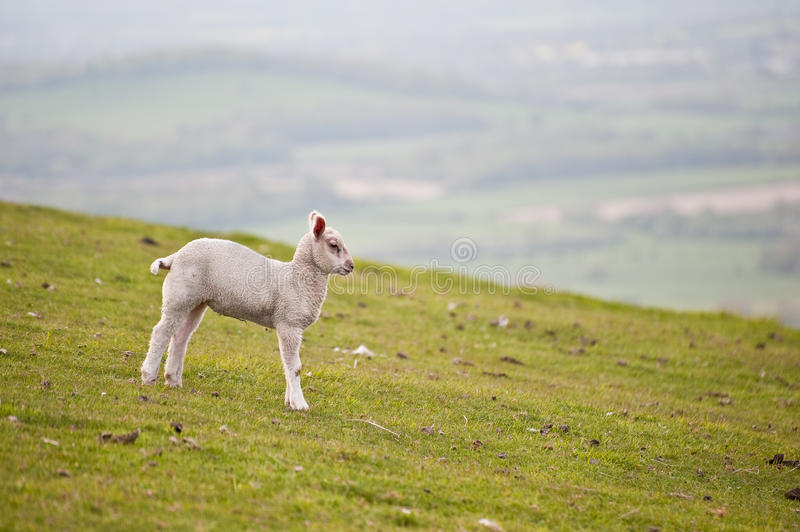 Single Spring Lamb In Field Royalty Free Stock Image