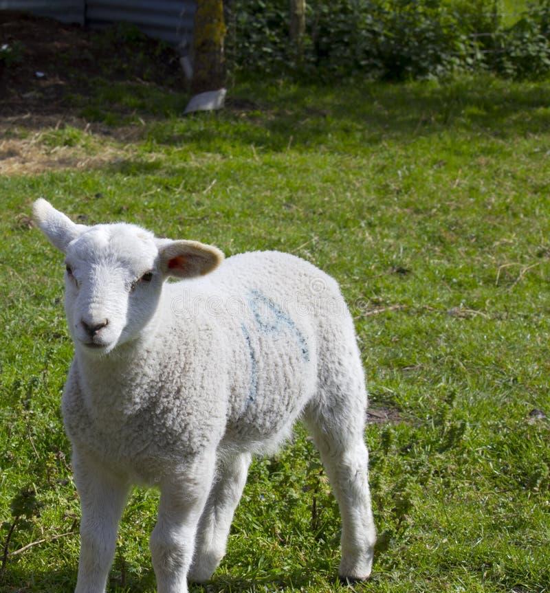 Single Spring Lamb royalty free stock photography