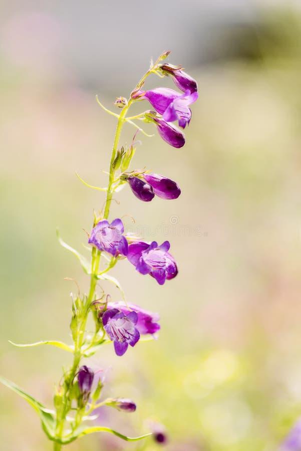Single Stalk of a Beautiful Purple Wildflower with Light & Bokeh. Single Stalk of a Beautiful Purple Wildflower with Soft Light & Bokeh royalty free stock photos