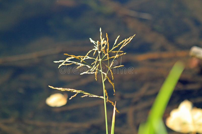 Single stalk of grass on edge of a lake. With a blurred background of the lake bottom stock images