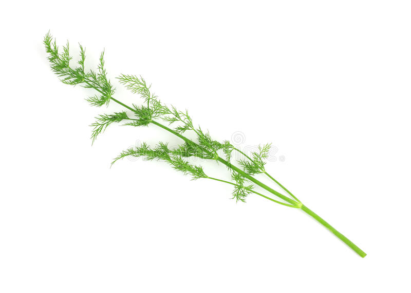 Single stalk of organic dill herb. A single stalk of fresh organic dill on a white background stock photos