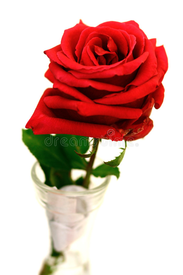 Single stalk of red rose. On display in vase stock image