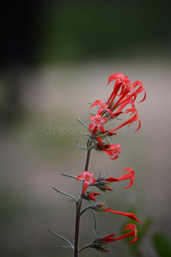 Red Skyrocket flower Scarlet Gilia Ipomopsis aggregata. A single stalk of a red Skyrocket flower, Scarlet Gilia, Ipomopsis aggregata at the Picaroon River basin royalty free stock photos