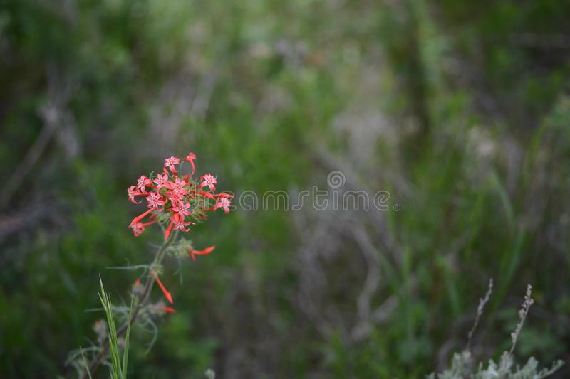 Red Skyrocket flower Scarlet Gilia Ipomopsis aggregata. A single stalk of a red Skyrocket flower, Scarlet Gilia, Ipomopsis aggregata at the Picaroon River basin royalty free stock images