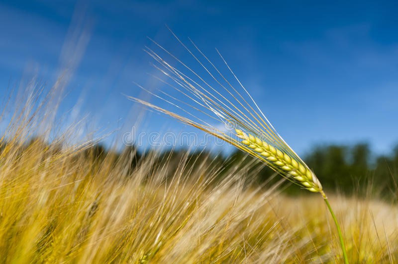 Single stalk of wheat. In a wheat field royalty free stock photo