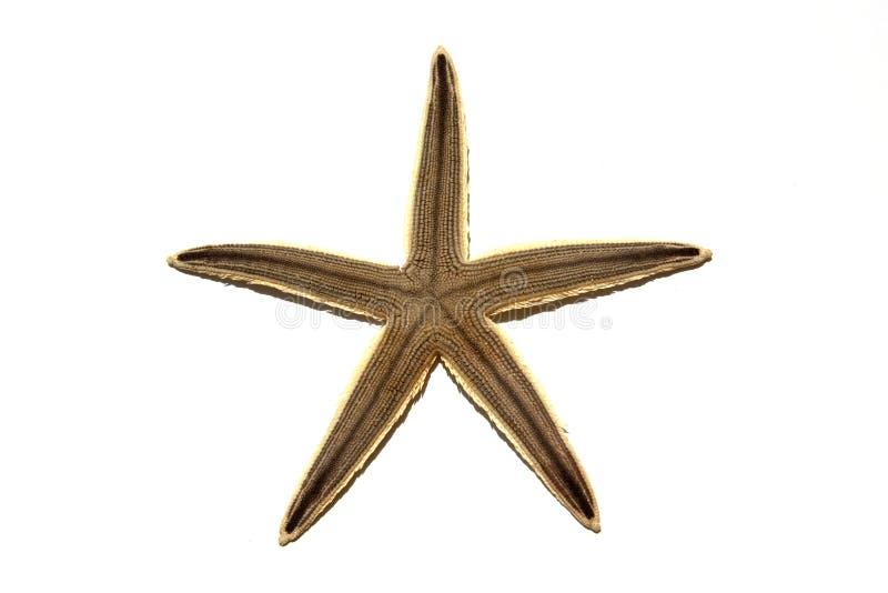 Download Single Starfish  On White stock image. Image of shape - 22926705