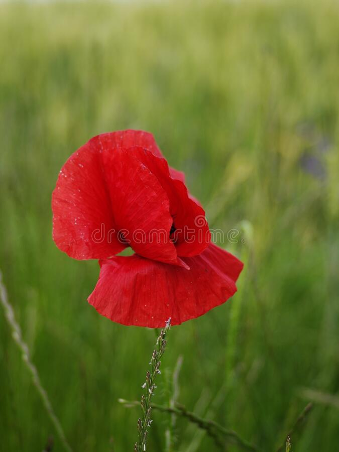 Single stem of bloomed red poppy flower in a green wheat field close up shot daytime warm light. T 2020 royalty free stock photos