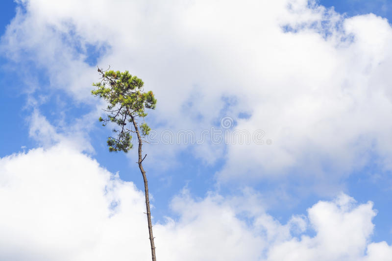 Single, striving pine tree against a blue and white summer sky. View of a lonely, striving pine tree against a blue and white summer sky stock photography